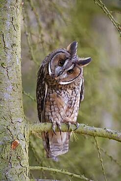 Long eared owl (Asio otus) adult bird in a pine tree, England, United Kingdom, Europe