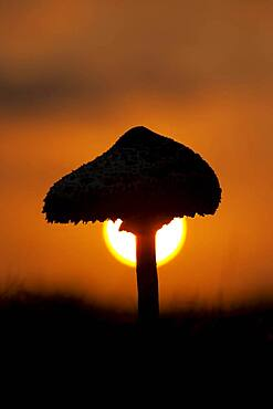 Parasol mushroom (Macrolepiota procera) at sunset, Suffolk, England, United Kingdom, Europe