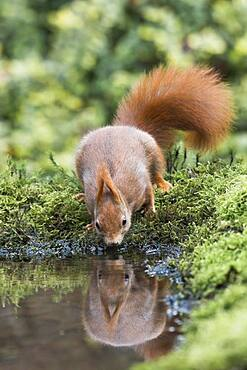 Eurasian red squirrel (Sciurus vulgaris) drinking at the water, Emsland, Lower Saxony, Germany, Europe