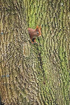 Squirrel (Sciurus vulgaris), Emsland, Lower Saxony, Germany, Europe