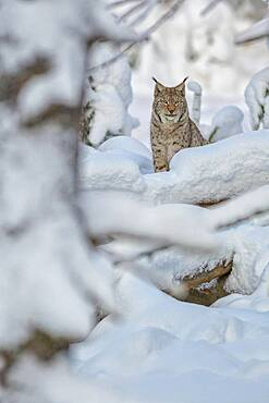 Eurasian lynx (Lynx lynx), sitting in deep snowy winter forest, Sumava National Park, Bohemian Forest, Czech Republic, Europe