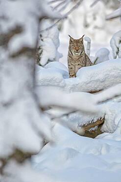 Eurasian lynx (Lynx lynx), sitting in deep snowy winter forest, Sumava National Park, Bohemian Forest, Czech Republic, Europe