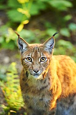 Eurasian lynx (Lynx lynx), portrait, captive, Bavarian Forest National Park, Bavaria, Germany, Europe
