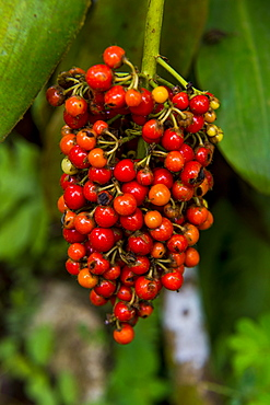Red coffee berries (Rubiaceae) in the Botanic Garden of Bom Sucesso, Sao Tome, Sao Tome and Principe, Atlantic ocean, Africa