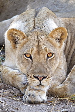 Lioness (Panthera leo) face. The animal looks into the camera in South Luangwa National Park, Zambia, Africa
