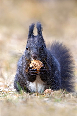 Squirrel (Sciurus vulgaris), sitting on the ground and holding a walnut in its paws, Terfens, Tyrol, Austria, Europe