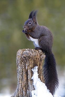 Squirrel (Sciurus vulgaris), sitting on a tree stump, Terfens, Tyrol, Austria, Europe