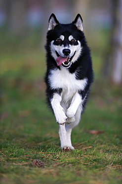 Alaskan Malamute (Canis lupus familiaris), adult, male, running, sled dog, Rhineland-Palatinate, Germany, Europe