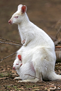 Red-necked wallaby (Macropus rufogriseus), Bennett's kangaroo, albino, adult, female, juvenile, juvenile looking out of pouch, Cuddly Creek, South Australia, Australia, Oceania