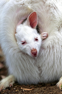Red-necked wallaby (Macropus rufogriseus), Bennett's kangaroo, albino, juvenile, portrait, juvenile looking out of pouch, Cuddly Creek, South Australia, Australia, Oceania