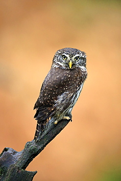 Pygmy owl (Glaucidium passerinum), adult, waiting, autumn, watchful, Bohemian Forest, Czech Republic, Europe