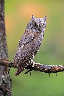 European scops owl (Otus scops), adult, on tree, in autumn, alert, Bohemian Forest, Czech Republic, Europe