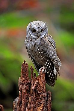 European scops owl (Otus scops), adult, waiting, autumn, alert, Bohemian Forest, Czech Republic, Europe