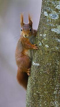 Squirrel (Sciurus vulgaris), climbing a tree, Swabian Alb Biosphere Reserve, Baden-Wuerttemberg, Germany, Europe
