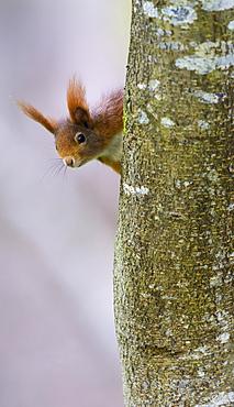 Squirrel (Sciurus vulgaris), looking out from behind a tree, Swabian Alb Biosphere Reserve, Baden-Wuerttemberg, Germany, Europe