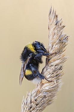 White-tailed Bumblebee (Bombus lucorum), Lower Saxony, Germany, Europe