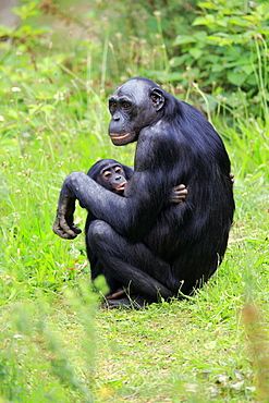 Bonobo, pygmy chimpanzee (Paniscus), adult, female, mother, young, nursing, social behaviour, endangered species, captive