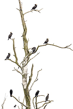 Great cormorant (Phalacrocorax carbo), resting birds on a dead tree, Anklamer Stadtbruch nature reserve, Anklam, Mecklenburg-Western Pomerania, Germany, Europe