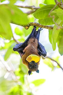 Indian Flying Fox (Pteropus medius), eats fruit, Kuramathi, Maldives, Asia