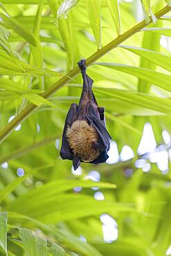 Indian Flying Fox (Pteropus medius) sleeping, Kuramathi, Maldives, Asia