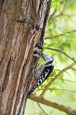Middle spotted woodpecker (Dendrocopos medius) at nest hole, feeding young bird, Lower Saxony, Germany, Europe