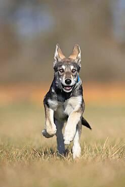 Marxdorf wolfhound (Canis lupus familiaris) puppy, running, frontal, Rhineland-Palatinate, Germany, Europe