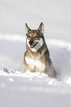 Shepherd dog mixed-breed playing in deep snow, Austria, Europe