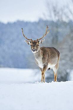 Fallow deer (Dama dama) on a snowy meadow, Bavaria, Germany, Europe