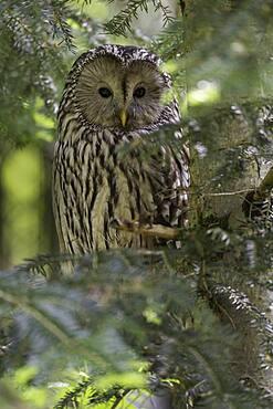 Ural owl (Strix uralensis), sitting in a tree, Bavarian Forest, Germany, Europe