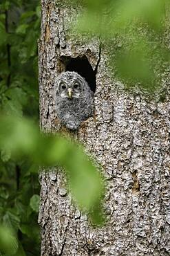 Young hawk owl (Strix uralensis), looking out of the breeding hole, Bavarian Forest, Germany, Europe