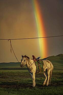 Domestic Horse (Equus ferus caballus) under colourful rainbow, Arkhangai Province, Mongolia, Asia