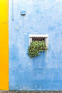 Blue wall with window and plants, colorful house wall, colorful facade, Burano Island, Venice, Veneto, Italy, Europe
