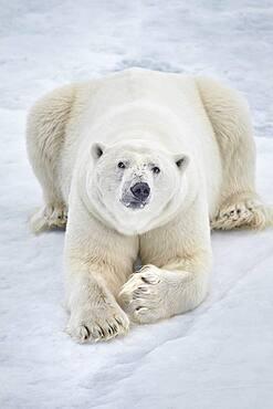 Polar bear (Ursus maritimus) resting on pack ice, Arctic, Spitsbergen, Svalbard