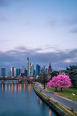 Pink flowering cherry trees (Prunus) and the skyline of Frankfurt, Hesse, Germany, Europe
