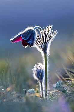 Meadow pasque flower (Pulsatilla pratensis) or black pasque flower, Burgenland, Austria, Europe