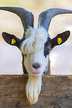 Tauernschecken domestic goat, Eggen-Hof, Vomp, Tyrol, Austria, Europe