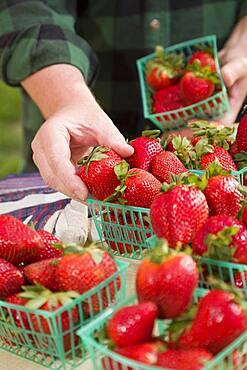 Farmer gathering fresh red strawberries in baskets