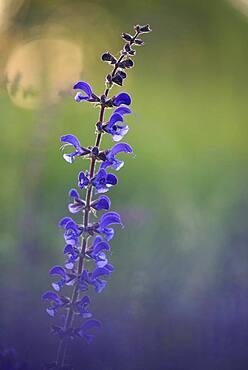 Meadow Clary (Salvia pratensis), May, Oberhausen, Ruhr area, North Rhine-Westphalia, Germany, Europe