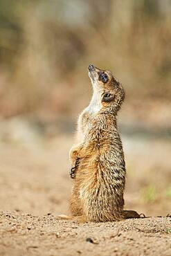 Meerkat or suricate (Suricata suricatta), captive, Germany, Europe