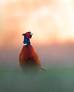 Pheasant (Phasianus colchicus), male standing in the meadow, sunrise, Blankenfelde, Germany, Europe