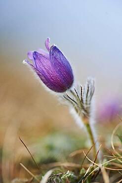 Pasque flower (Pulsatilla vulgaris), Bavaria, Germany, Europe