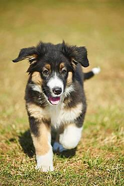 Mixed-bread dog (Australian Shepherd and Golden Retriever), Bavaria, Germany, Europe