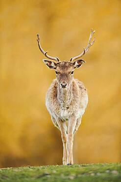 Fallow deer (Dama dama) on a meadow, captive, Bavaria, Germany, Europe