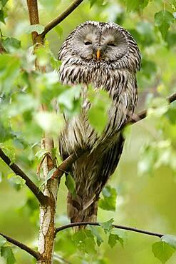 Great grey owl (Strix nebulosa), sitting in a tree, captive, France, Europe
