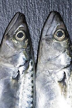 Two mackerel (Scomber scombrus) heads, germany