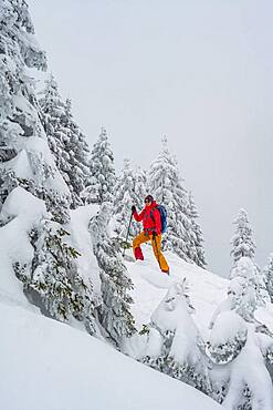 Young woman on ski tour in snowfall, ski tourers, ski tour to Brecherspitze, Mangfall Mountains, Bavarian Prealps, Upper Bavaria, Bavaria, Germany, Europe