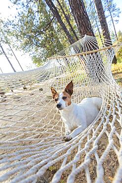 Jack russell terrier relaxing in a hammock among the pine trees