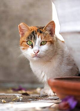 Cat with green eyes looking out, Paros, Cyclades, Aegean Sea, Greece, Europe