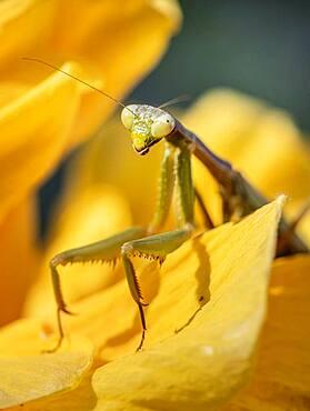 European mantis (mantis religiosa) on a flower, Paros, Aegean Sea, Greece, Europe