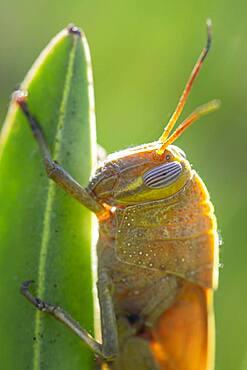 Egyptian locust (Anacridium aegyptium) on a plant, Paros, Aegean Sea, Greece, Europe